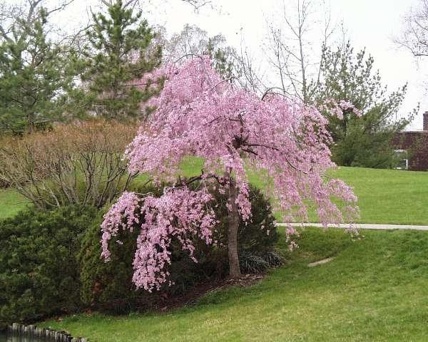 Японски вишни ще цъфтят в  Central Park