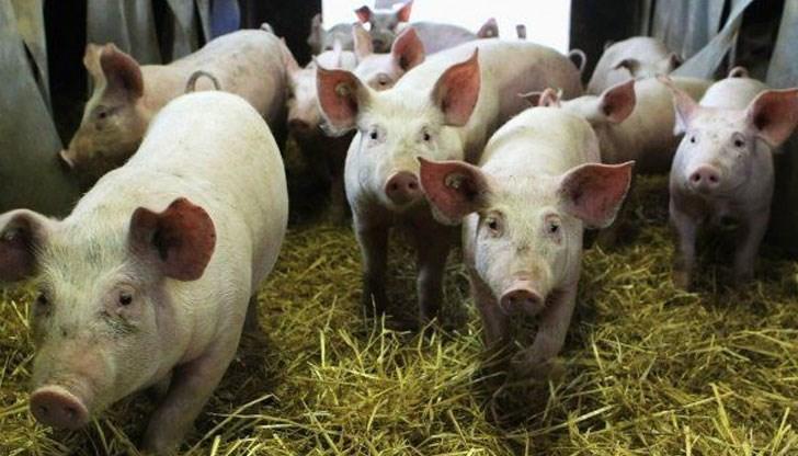 Актуализират списъците на собствениците и броя на отглежданите свине в Бургаско