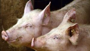 Eвтаназираха над 100 домашни прасета в Зидарово заради зараза с Африканска чума
